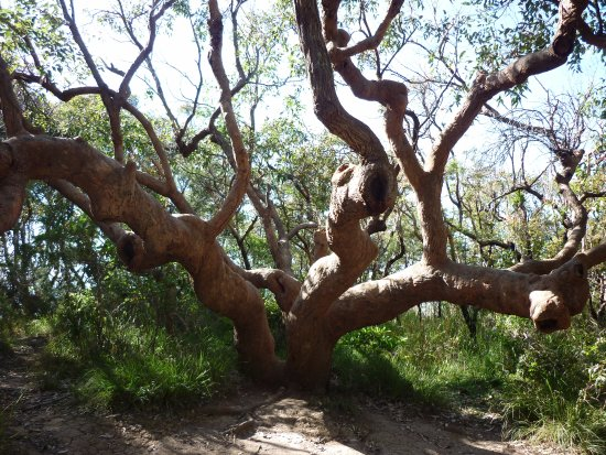 Bateau Bay, Austrália: Confused tree