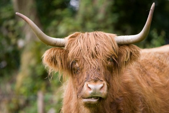 Polgooth, UK: Highland Cows