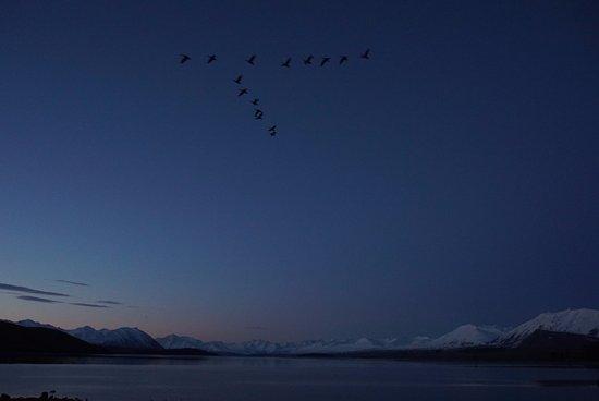 Lake Tekapo: Geese flying over the lake at dusk