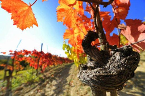 Slovenia: vineyard in autumn