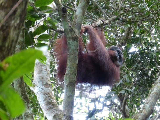 The Last Frontier Boutique Resort : Wild male Orang at The Last Frontier