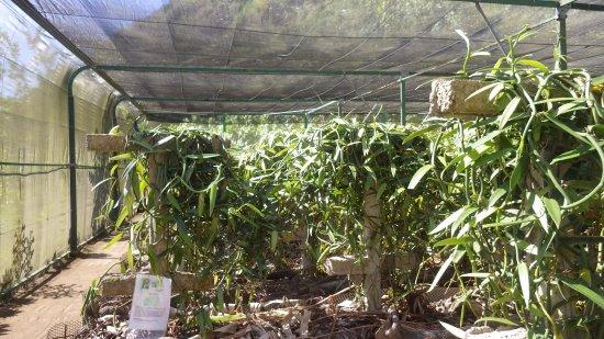 موريا, بولينيزيا الفرنسية: vanille