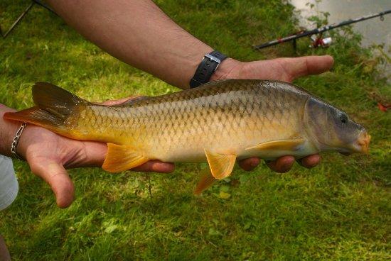 Saint-Julien-du-Sault, Francia: Une petite mais jolie carpe pêchée depuis la camping