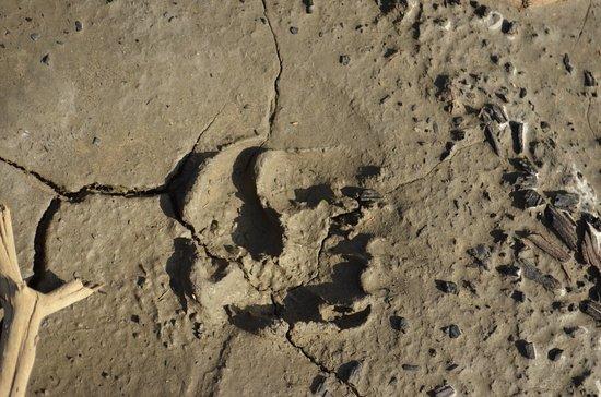 Glennallen, อลาสกา: Nature walk - bear footprints