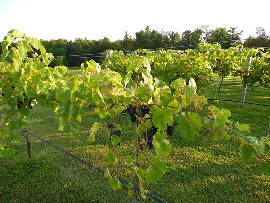 Vesco Ridge Vineyard