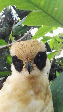 Arenal Eco Zoo : juvenile Laughing Falcon