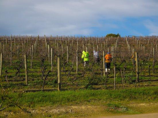 Dixons Creek, أستراليا: Dixons Creek Estate - Pruners in Vineyard
