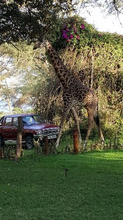 Hippo Point: Giraffes to greet you