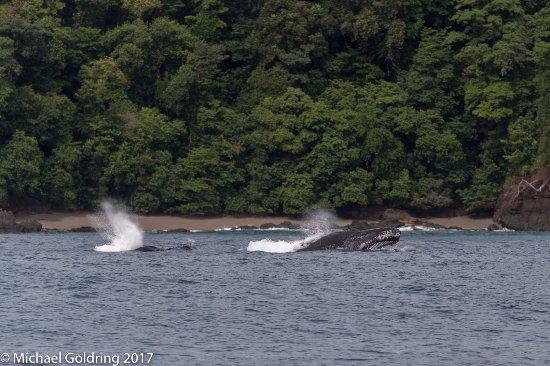 Drake Bay, كوستاريكا: Humpback whales were everywhere!