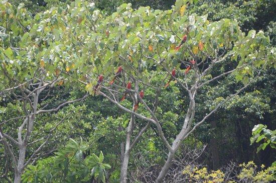 Terraza del Pacifico: Macaws
