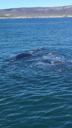 Ivanhoe Sea Safaris: Southern Right whales
