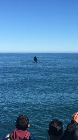 Ivanhoe Sea Safaris: Whale is waving at the crowd on the boat.
