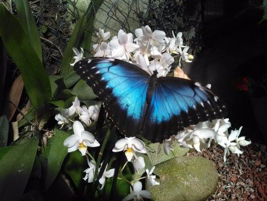 Jardins des Papillons : Morpho peleides - Costa Rica