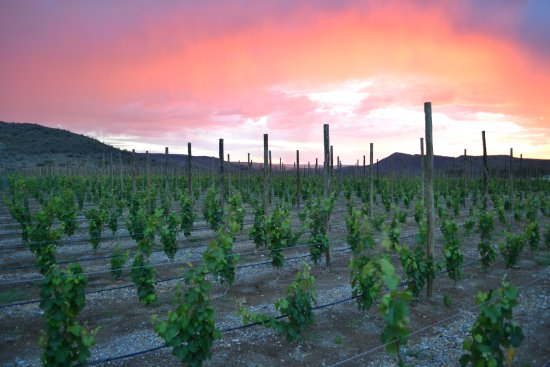 Maltahohe, Namibia: Young Sunset Vineyard