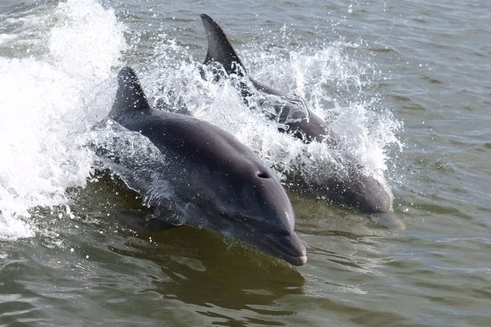 Dreamlander Tours: Dolphins surfing behind the boat