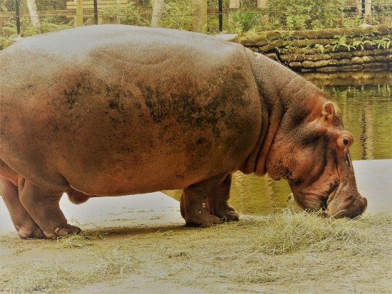 Homosassa Springs, FL: Lu the Hippo