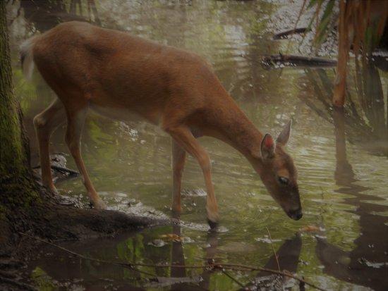 Homosassa Springs, FL: White tailed deer