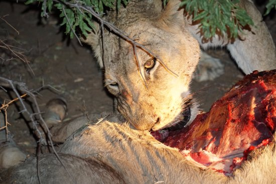 Kapama Southern Camp: Lioness eating Kudu
