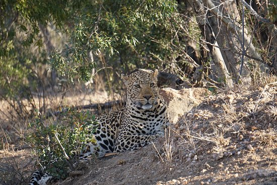Kapama Southern Camp: Leopard protecting her kill up in the tree from a single Hyena