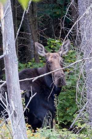The Birches Resort: Moose sighting in the Marshes!