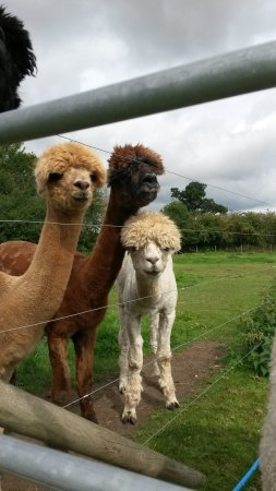 ‪Bramble Lodge Alpacas‬