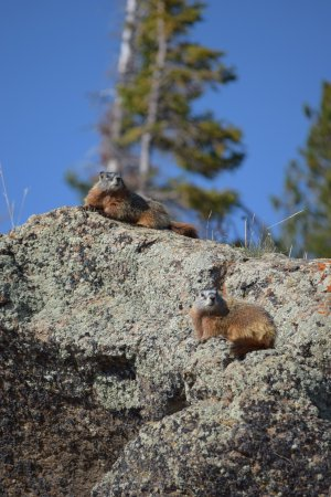 Storm Point Trail: Yellow bellied marmots