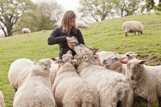 Llandissilio, UK: Guests feeding  the girls