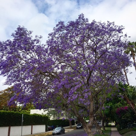The purple flowers of the jacaranda trees filling many streets in glitterati tours the purple flowers of the jacaranda trees filling many streets in hollywood and mightylinksfo