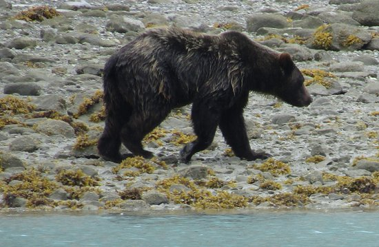 Gustavus, AK: Brown bear (Grizzly) walking along the shore