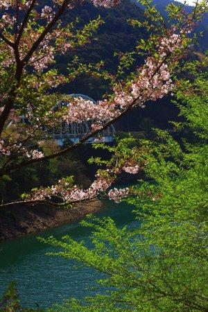 Mizukami-mura, اليابان: 市房ダムの桜・その2