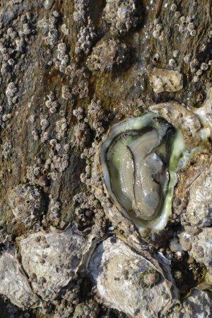 Pointe du Bile: huitre