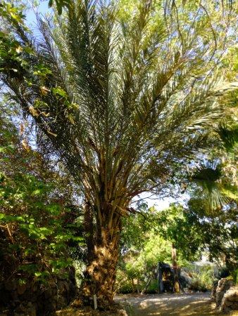 Botanical Garden Of Eilat : palm tree