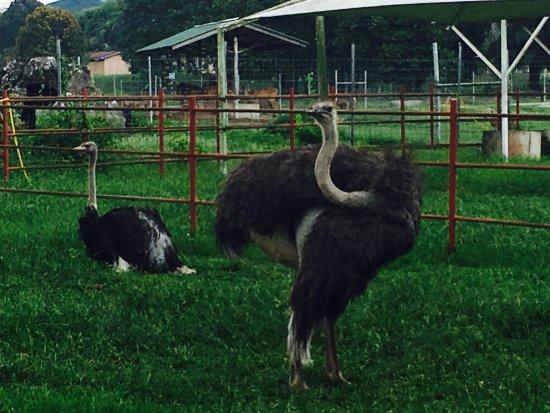Seremban, Maleisië: Jelita Ostrich Farm