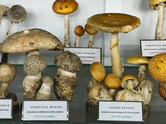 Amanita verna Lamb - deadly! - Picture of Mushroom Museum