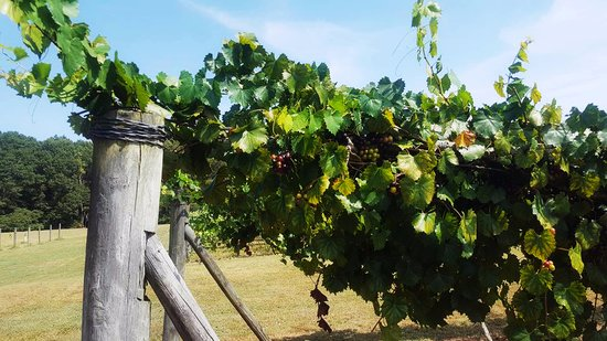 Enoree River Winery: grapes