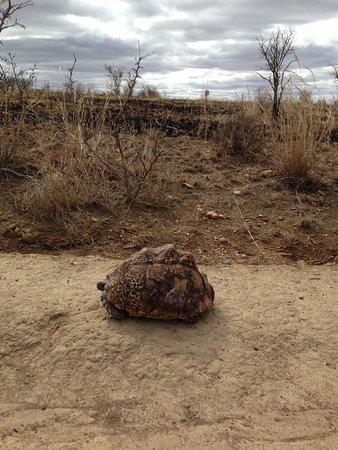 KwaZulu-Natal, South Africa: Tortoise crossing the road