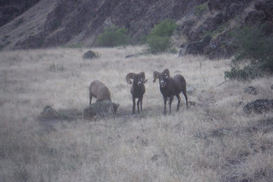 Oxbow, Oregón: Big Horn Rams