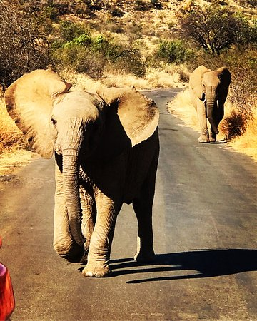Felleng Day Tours : Young elephant chasing our vehicle as mother watches on apprehensively in Pilanesberg.