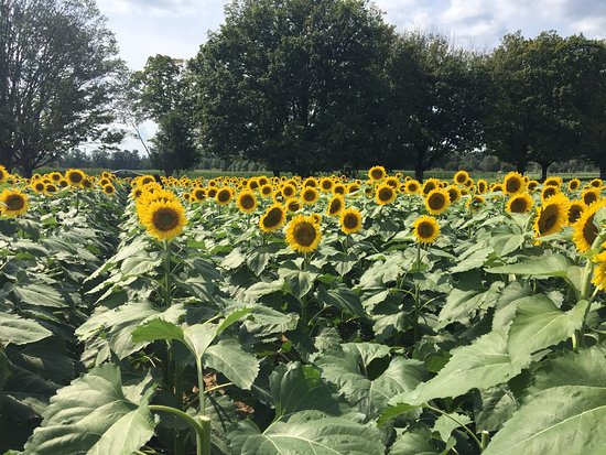 Cockeysville, MD: Beautiful sunflower fields