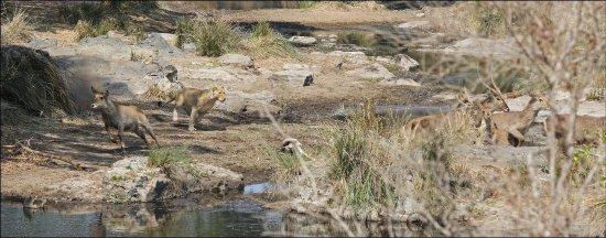 จอร์จ, แอฟริกาใต้: She had stalked these Water Buck and now the lioness was on the chase...