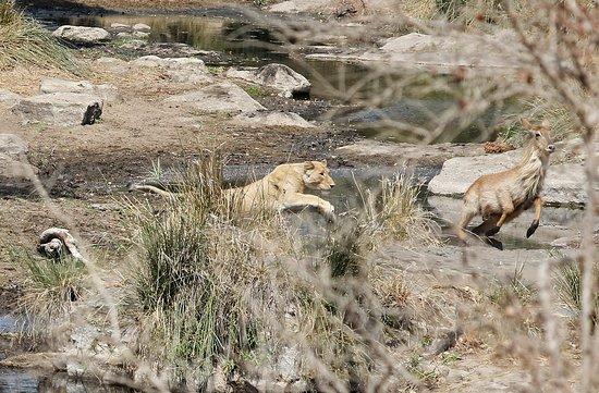 จอร์จ, แอฟริกาใต้: She was close, but this time the lioness didn't catch her lunch
