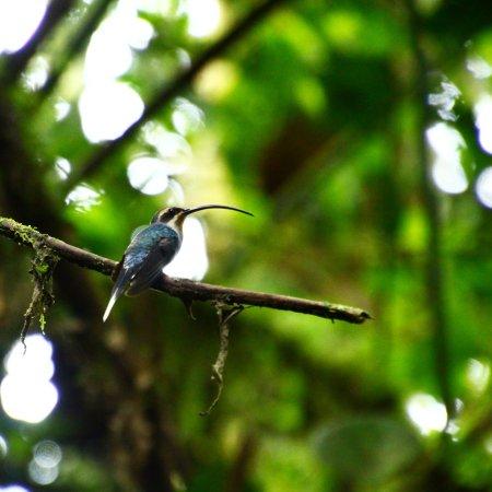 Reserva Bosque Nuboso Santa Elena: Green Hermit Humming Bird