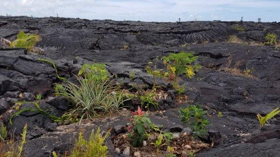 Pahoa, HI: Plantings