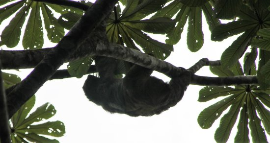Guapiles, Costa Rica: a sloth right above our heads
