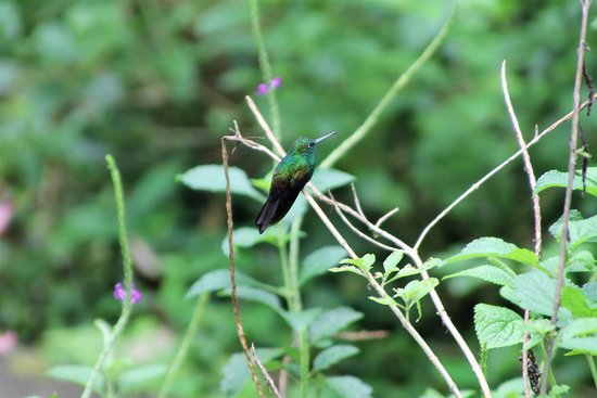 Rainforest Adventures: hummingbird, not sure which species, but spectacular!