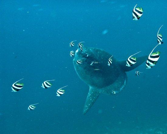 Mola Mola (Oceanic Sunfish) In season June to November