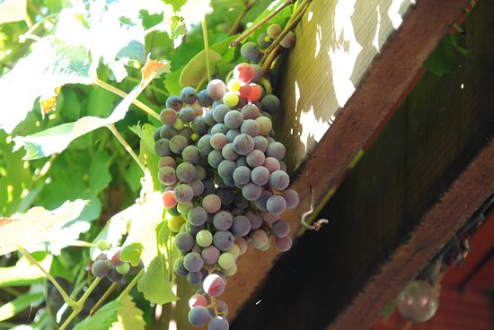 Cali Cochitta Bed & Breakfast: Grapes from arbor on B&B grounds