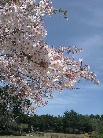 Minamiminowa-mura, Japan: GWでも桜が咲いてました。