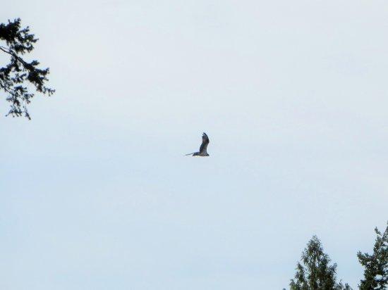 Tappen, Canada : Sunnybrae osprey