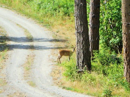 Tappen, Canada : Sunnybrae deer